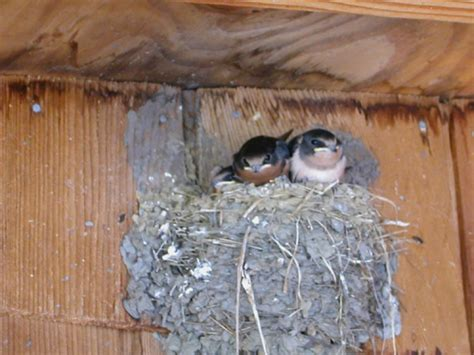 experts to try plaster nests to lure swallows back to san