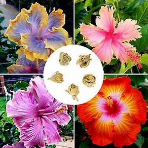 Riesen Hibiskus Kaufen : 100pcs 24 farben riesen hibiskus samen dinnerplate hibiskus blu mehrj hrige o6i ebay ~ Watch28wear.com Haus und Dekorationen