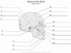 Skull Anatomy And How It Shapes Our Faces