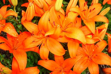 lilies how to plant grow and care for flowers