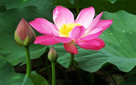 beautiful lotus flowers wallpapers 07 wallpapers13 com