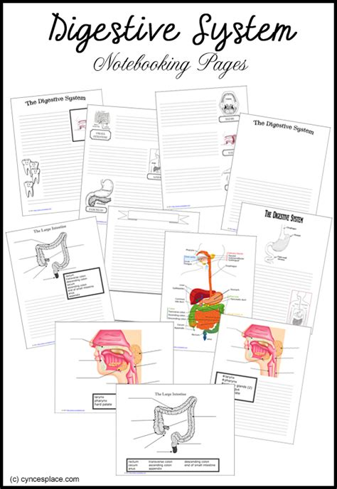 digestive system notebooking pages  homeschool