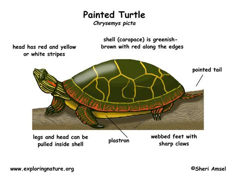Turtle Painted
