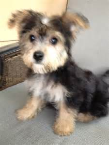 puppies for sale illinois non shedding puppies hypo
