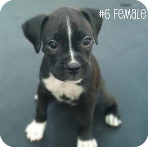 cute little black boxer puppy!! For when Buckley gets a ...