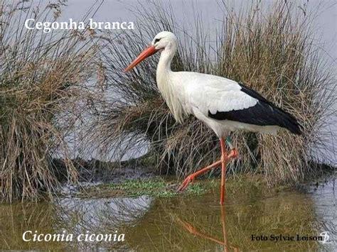 aves de angola