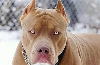 Pitbull Pit Bull Padre Woman Attacked Figlia