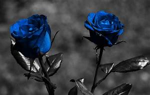 Blue Rose Wallpapers HD Pictures | One HD Wallpaper ...