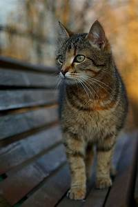 100 best images about Brown Tabby on Pinterest | Tabby ...