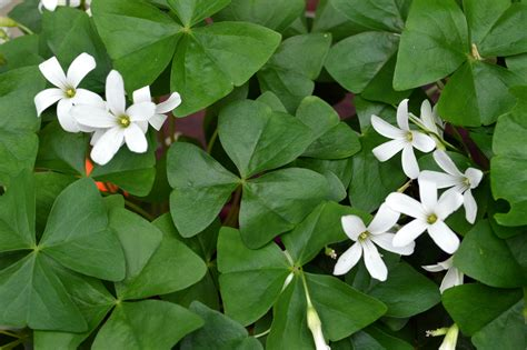 clover plant oxalis plants and shamrock traditions