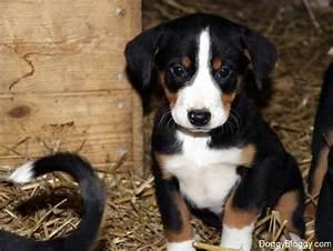 16 best images about Appenzeller Sennenhund on Pinterest ...