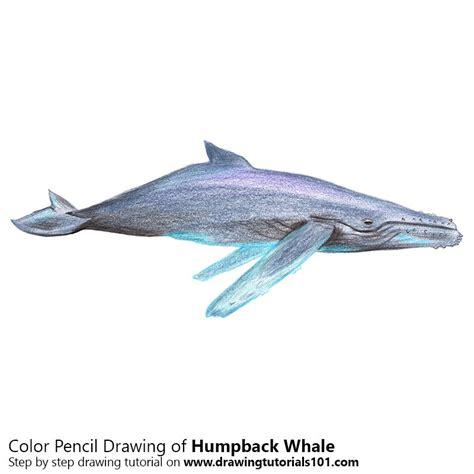 what color are whales humpback whale colored pencils drawing humpback whale
