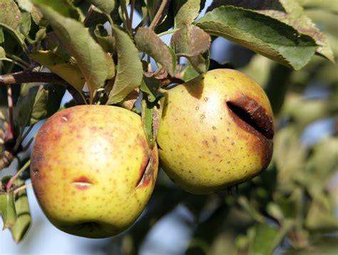Apple 'shortage' unlikely despite damage to nation's crop ...