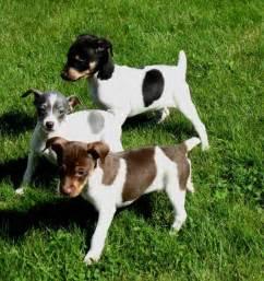 Cute Rat Terrier Puppies