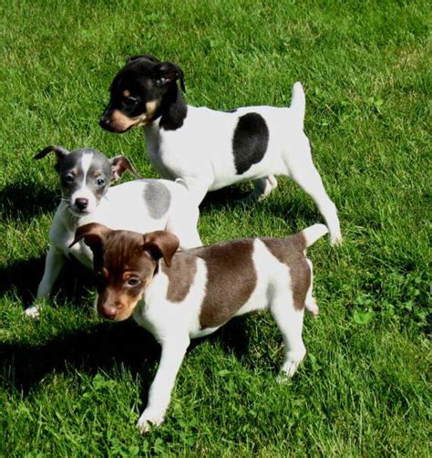 rat terrier info temperament care puppies pictures