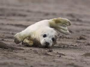 Otters Rape Baby Seals