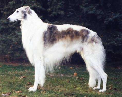 Borzoi Pictures Wallpapers9