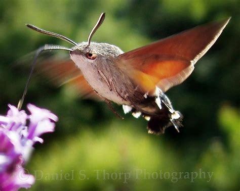 hummingbird moth hummingbird moth animals pinterest