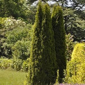 Plantes Et Jardin : thuya d 39 ornement 39 emeraude 39 plantes et jardins ~ Melissatoandfro.com Idées de Décoration