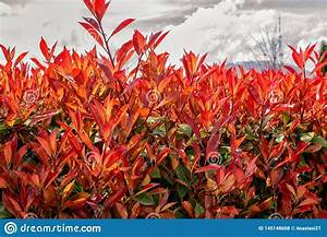 Beautiful, Bush, With, Red, Leaves, Stock, Photo
