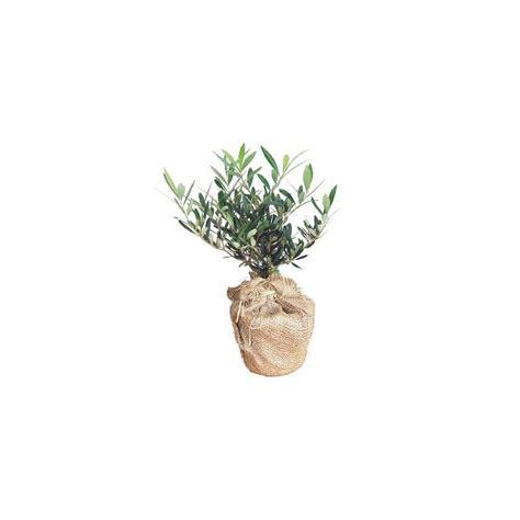 olivier en pot cadeau 40cm gt gt livraison express plantes et jardins