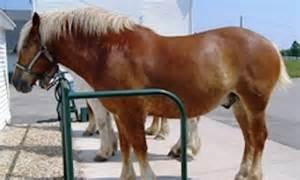 Horse Body Condition Score Fat