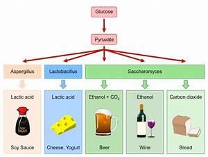 Yeast Fermentation | BioNinja