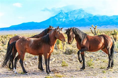 wild nevada courtship horse territory outdoors horses cold creek bucket anyone loves ultimate flickr nv map