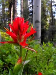 Wyoming State Flower Indian Paintbrush