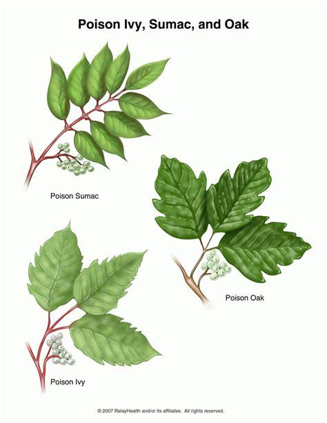 poisonous plants poison oak pictures mouade agafay
