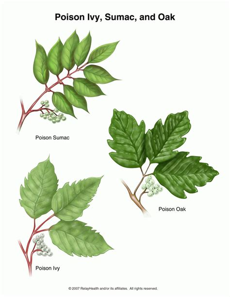 poison plant pictures poison oak pictures mouade agafay