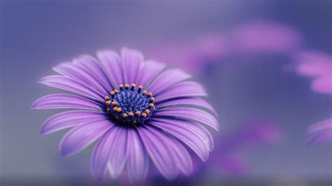 Blue Daisy Macro Wallpapers (51 Wallpapers)