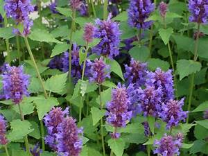 Acheter Des Plantes : agastache 39 blue boa 39 plantes vivaces acheter des plantes en ligne ~ Melissatoandfro.com Idées de Décoration