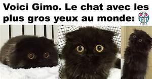 Les Yeux Les Plus Rare : gimo le chat avec les plus gros yeux au monde conneriesqc ~ Nature-et-papiers.com Idées de Décoration