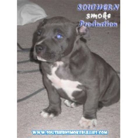 Nose Pits For Sale In Michigan by Southern Smoke Pitbulls American Pit Bull Terrier Breeder