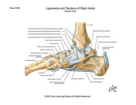For more anatomy anatomynote.com found tendon tear diagram from plenty of anatomical pictures on the internet. Pictures Of Ankle Joint Ligaments