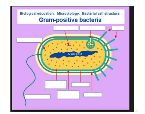 gram positive bacteria purposegames