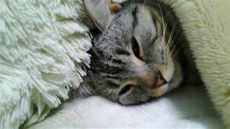 【マンチカン】 まるで人が眠るような姿で眠る猫 Sleep Lying Down Munchkin Cat