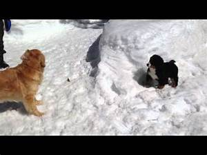 Bernese Mountain Dog puppy & Golden Retriever are playing ...