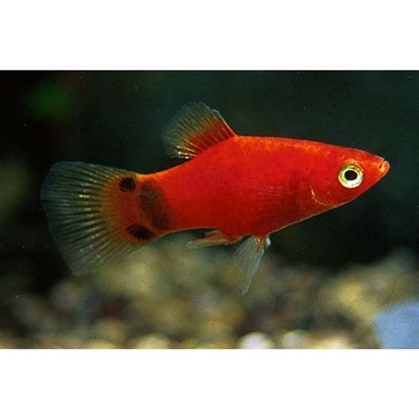 mickey mouse fish 127 best images about aquariums platys please on pinterest births tropical and tropical