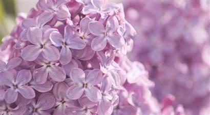 Lilac Flower Flowers Pink Drawing Wallpapers Desktop
