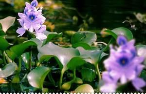Distributeur D Eau Pour Plante : jacinthe d 39 eau plante aquatique fleurie id ale pour les bassins ~ Dode.kayakingforconservation.com Idées de Décoration