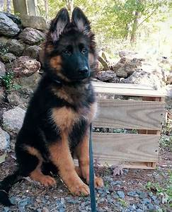 Long haired king German shepherd puppy Everything you want ...