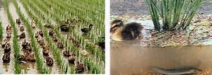 Rice-Duck-Azolla-fish Cultivation | The Azolla Foundation