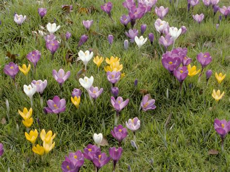 tips for planting crocuses hgtv