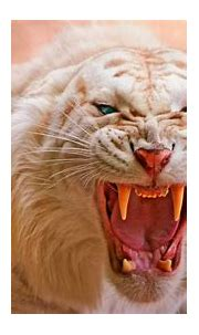 White Tiger 4K Wallpaper, Roaring, Blue eyes, Predator ...