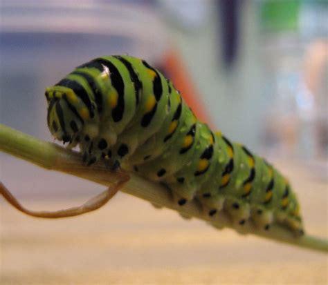 black swallowtail caterpillar caterpillars  sutton