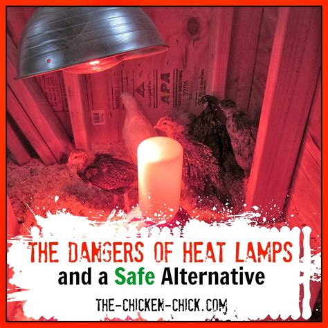the chicken 174 the dangers of brooder heat ls a