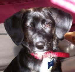 Chocolate Lab Beagle Mix Puppies
