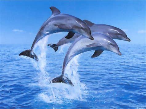 Animated Dolphin Wallpaper Free - free 3d desktop wallpaper screensavers ventube